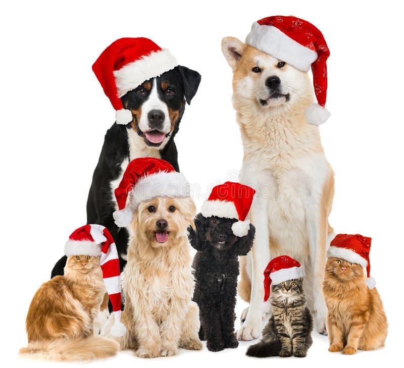 Animales domésticos de la Navidad con los sombreros de santa fotografía de archivo