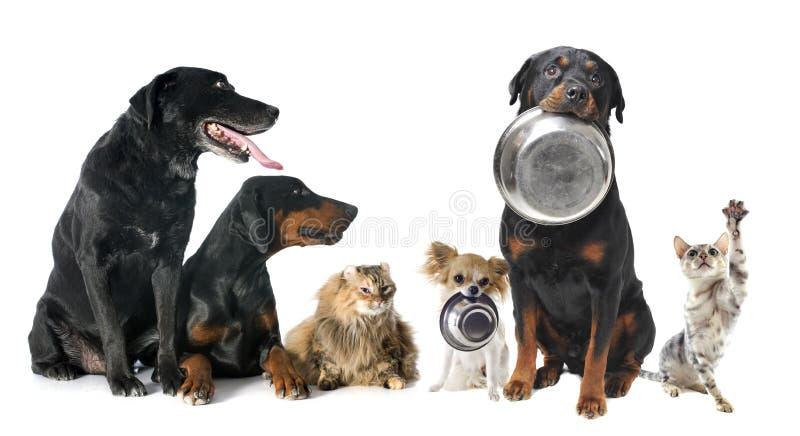 Animales domésticos hambrientos imagen de archivo libre de regalías