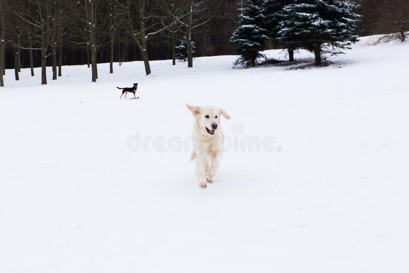 Animales domésticos hermosos - golden retriever grande que se divierte en un paseo del invierno en un parque nevado imagenes de archivo