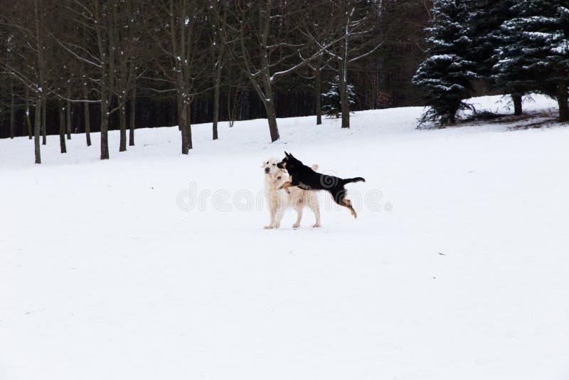 Animales domésticos hermosos - golden retriever grande que se divierte en un paseo del invierno en un parque nevado foto de archivo