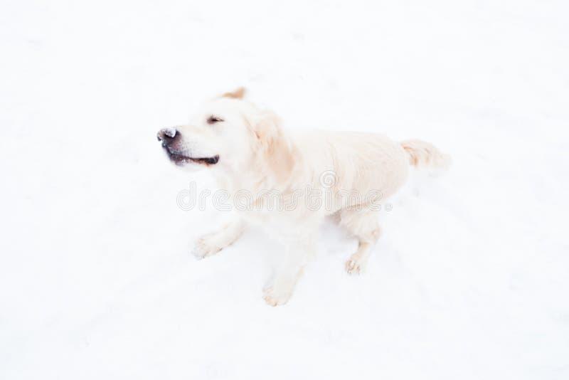 Animales domésticos hermosos - golden retriever grande que se divierte en un paseo del invierno en un parque nevado imagen de archivo libre de regalías