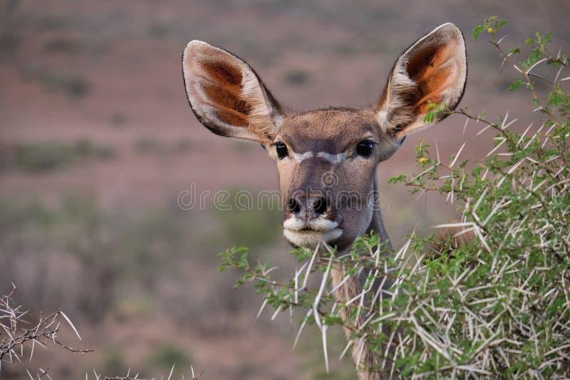 Animales en el Karoo fotografía de archivo