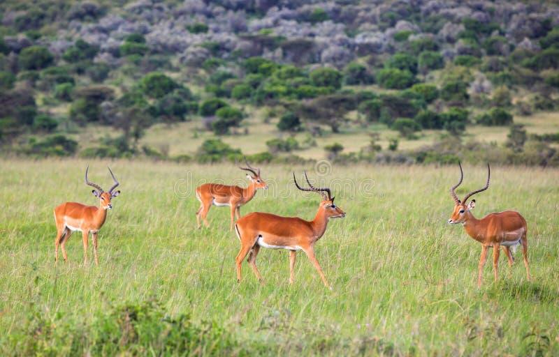 Animales en Maasai Mara, Kenia imagen de archivo