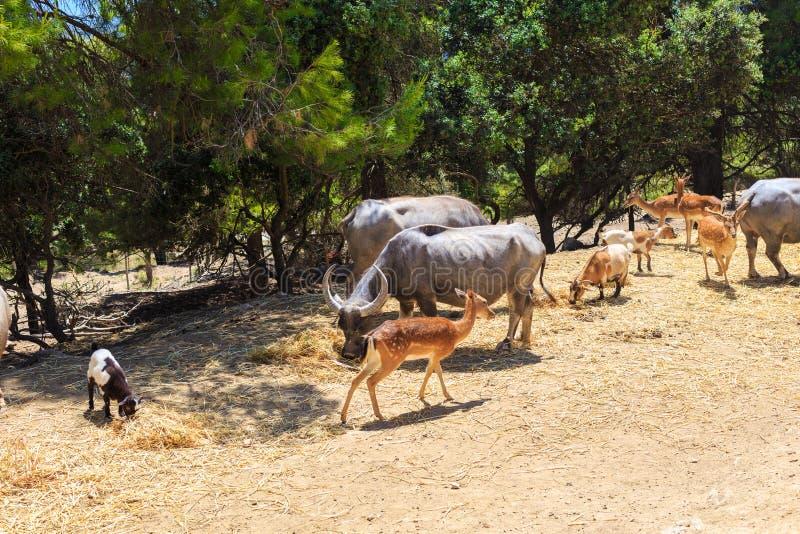 Animales salvajes: búfalo, alce, bisonte en parque del safari imágenes de archivo libres de regalías