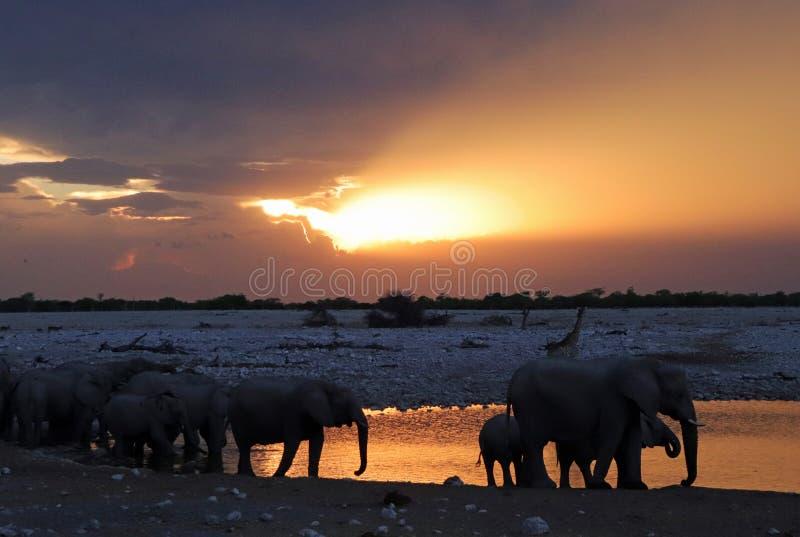 Animales salvajes que desfilan en el agujero de agua cerca de parque nacional del etosha del campo del okaukuejo en Namibia imagen de archivo libre de regalías