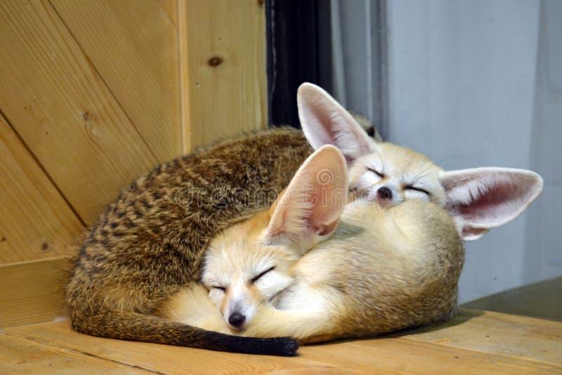 Animales salvajes - sueño del gatito del fennec foto de archivo