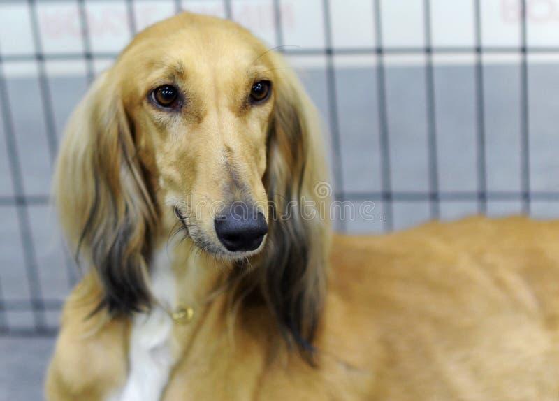 Animali adorabili all'esposizione canina fotografia stock
