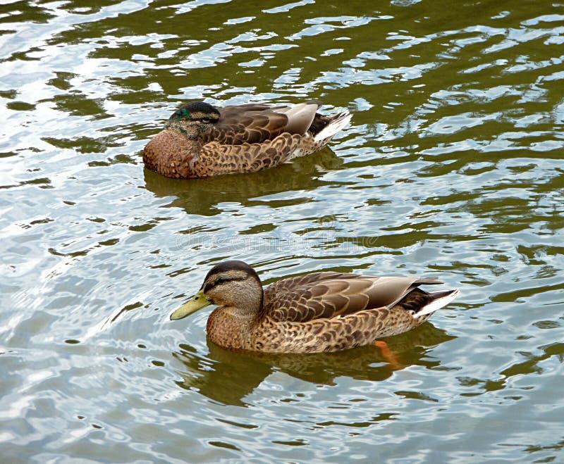 Animali - anatre fotografie stock libere da diritti