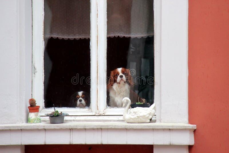 Cani svegli alla finestra fotografia stock libera da diritti