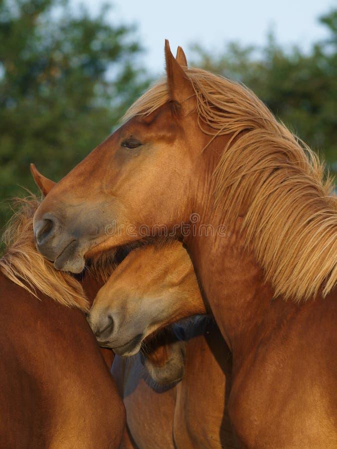 Animali d'un anno del punzone della Suffolk immagine stock libera da diritti