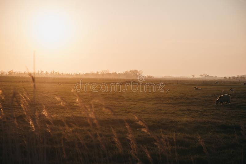 Animali da allevamento a distanza in un campo durante il tramonto a Norfolk, Inghilterra, Regno Unito, focalizzazione selettiva fotografia stock libera da diritti