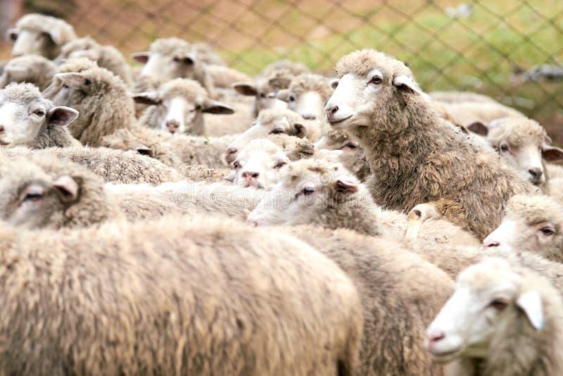 Animali da riproduzione Pecore del gregge Autunno freddo fotografia stock
