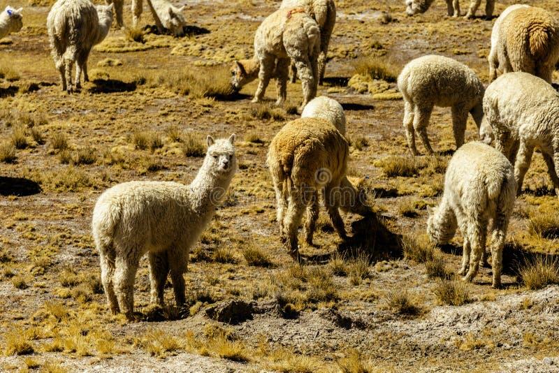 Animali dell'alpaga, fauna selvatica Perù fotografia stock
