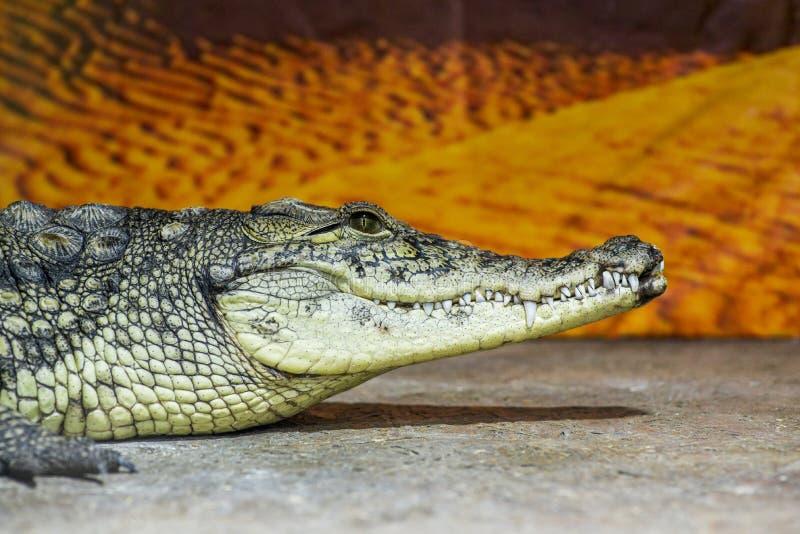 Animali della fauna selvatica - bocca e denti selvaggi del coccodrillo del rettile Testa del coccodrillo nel riposo di profilo fotografia stock libera da diritti