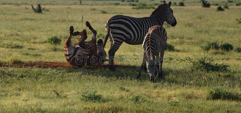 Animali divertenti, zebre libere felici sulla savanna fotografia stock libera da diritti
