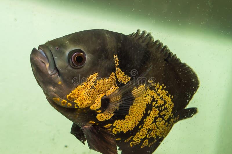 Animali domestici del pesce e dell'animale di Oscars sull'acquario fotografia stock