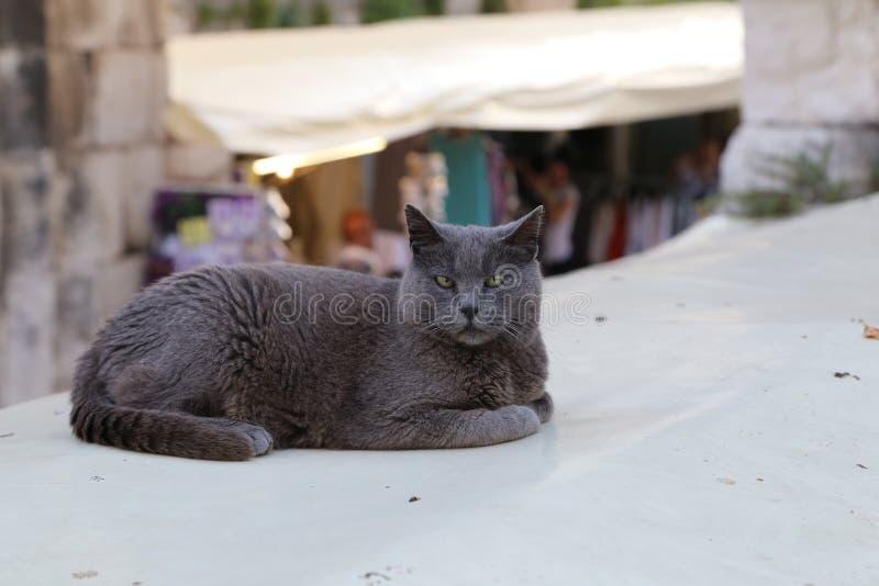 Animali domestici - ritratto di un gatto grigio di riposo immagini stock