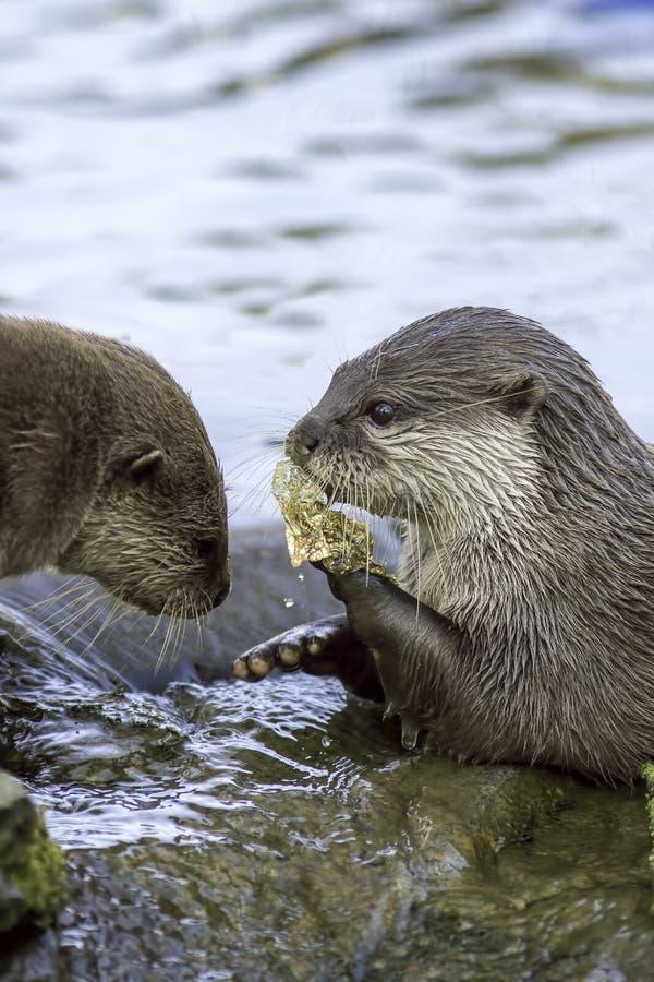Animali ed inquinamento del fiume Lontre che mangiano plastica scartata accesa immagini stock libere da diritti