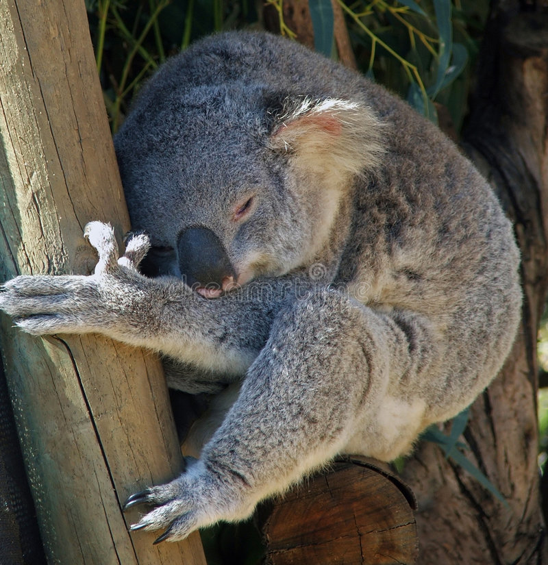 Download Animali - Koala immagine stock. Immagine di koala, naturalness - 221447
