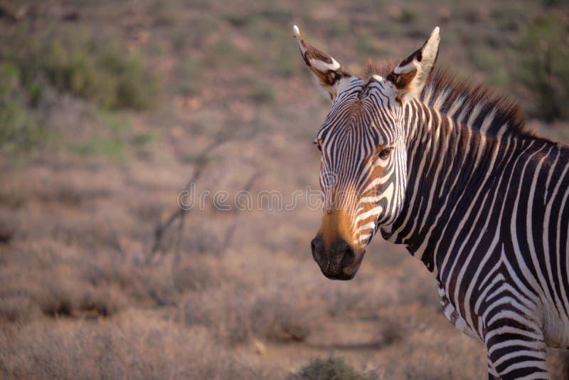 Animali nel karoo fotografia stock