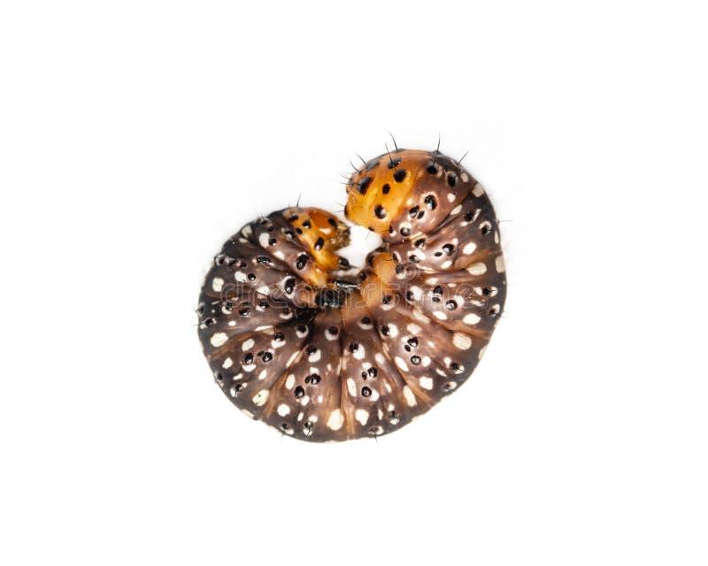 Animali neri, arancio e gialli dei trattori a cingoli del verme isolare su bianco immagini stock