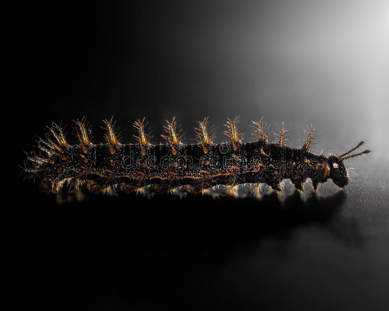 Animali neri, arancio e gialli dei trattori a cingoli del verme isolare sul nero fotografie stock