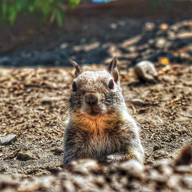 Animali selvaggi svegli del parco degli scoiattoli a terra immagine stock