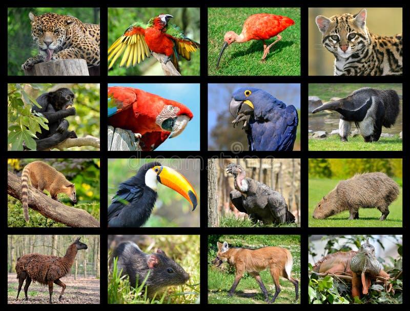 Animali sudamericani delle foto del mosaico fotografia stock