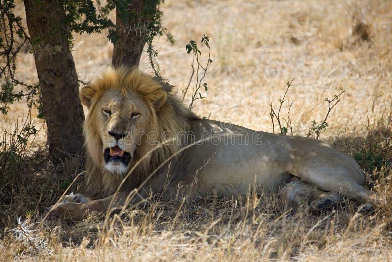 Animals 055 lion stock image