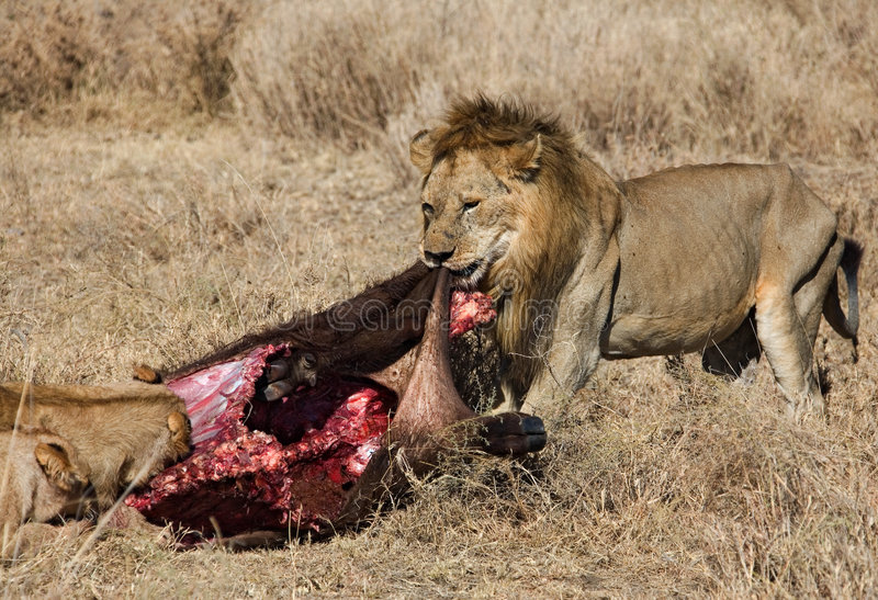 Download Animals stock image. Image of hunting, africa, kenya, savanna - 579309
