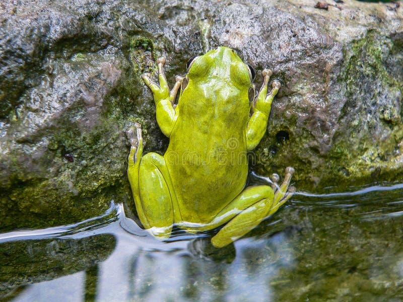 Animals. Amphibians. Hyla sarda stock image