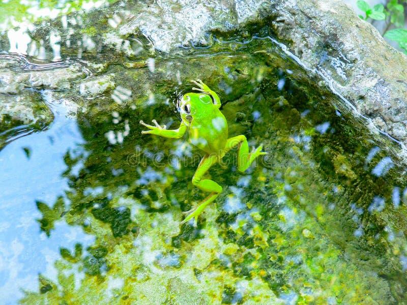 Animals. Amphibians. Hyla sarda royalty free stock image