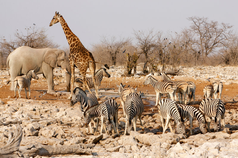 Animals around a water hole. Several animals round a water hole, Africa stock image