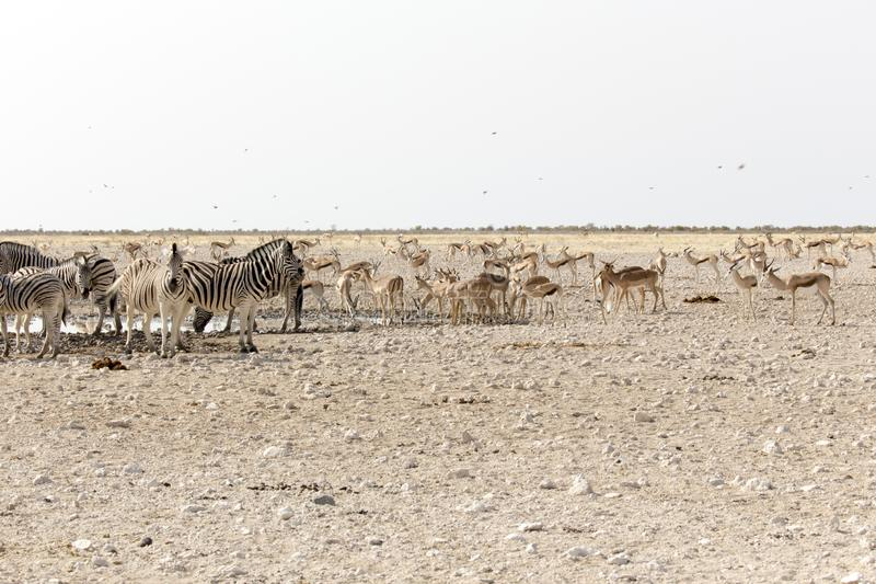 Animals arriving at water hole in desert. Of Namibia royalty free stock photos