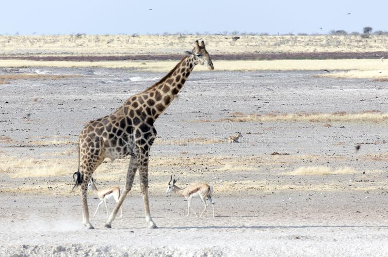 Animals arriving at water hole in desert. Of Namibia stock image