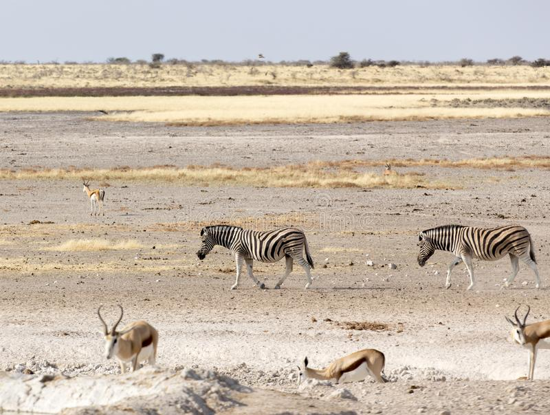 Animals arriving at water hole. In Namibia desert stock photo
