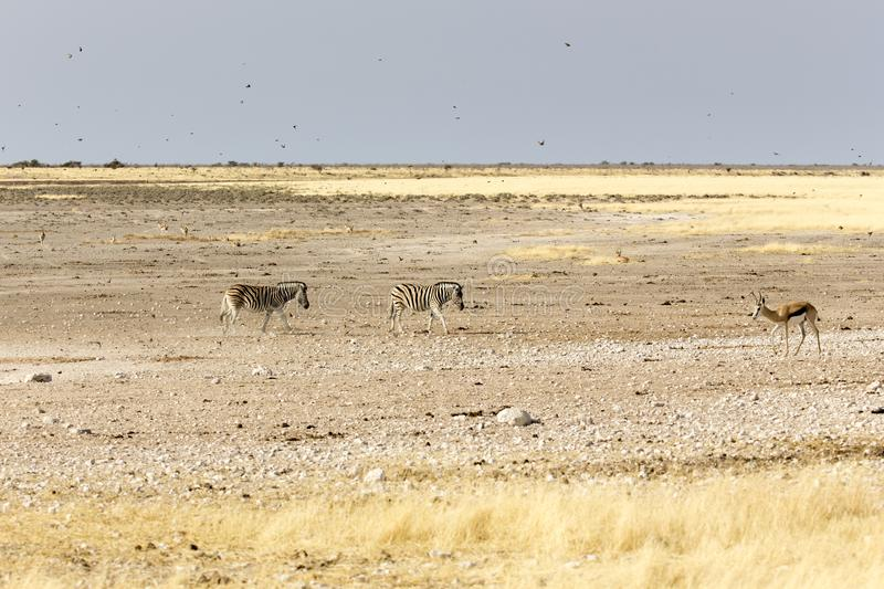 Animals arriving at water hole. In Namibia desert stock photography