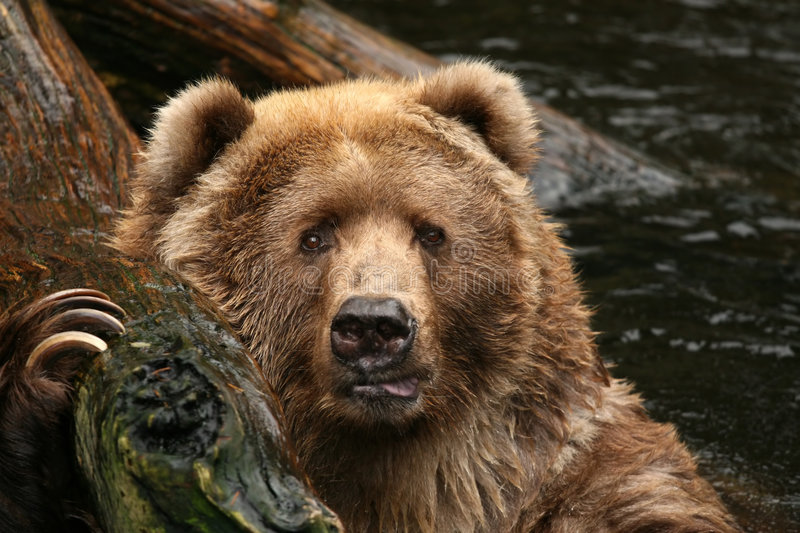 Animals: Bear looking at you stock photography