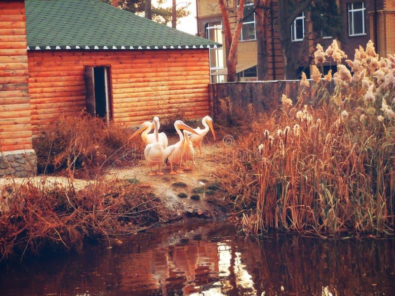Animals, birds, pelican, fall, water, lake, pond, flock royalty free stock photos