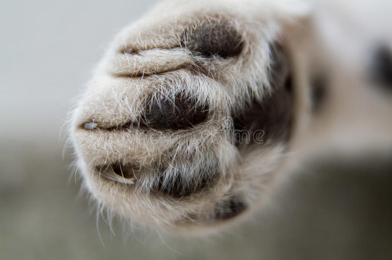Animals. Cat. Paw of cat close-up royalty free stock image