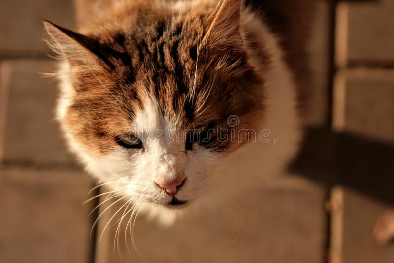 animals cat pets orange white royalty free stock image