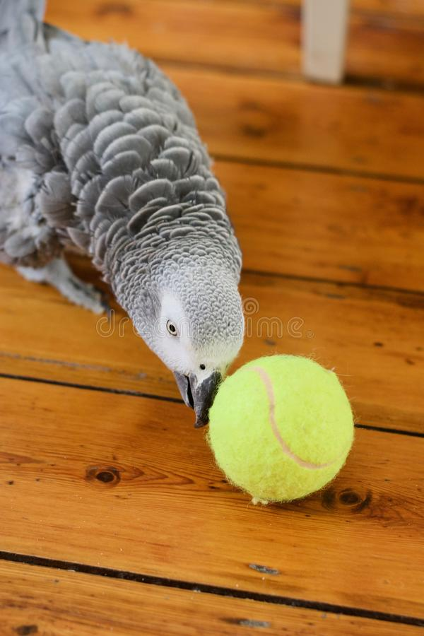 African Grey Parrot. Animals concept. African grey parrot on the floor. Young bird at home stock photo