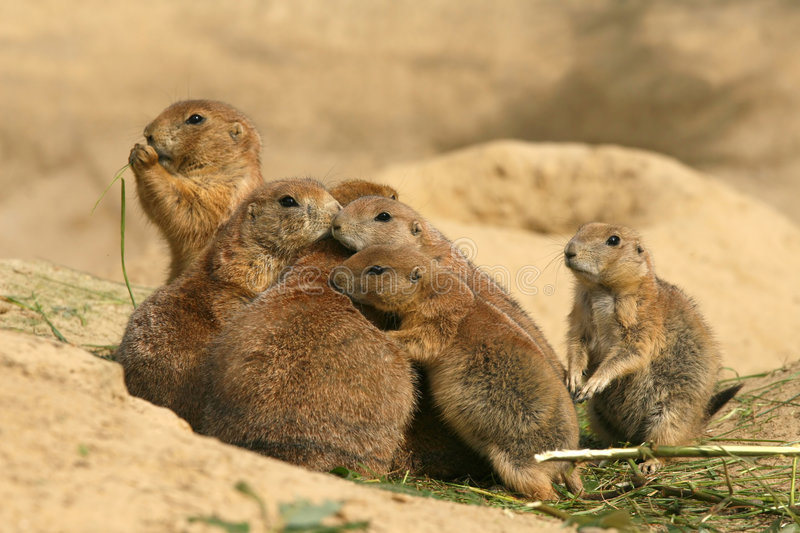 Animals: Family of Prairie Dogs stock photography