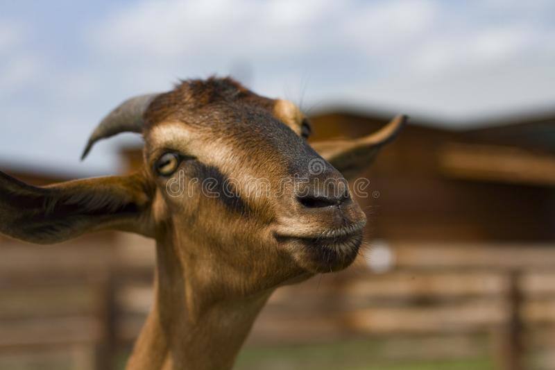 Animals on the farm. Brown goat with big horns. Animals on the farm. Brown goat with big ears and horns close-up. On a blurred background royalty free stock image