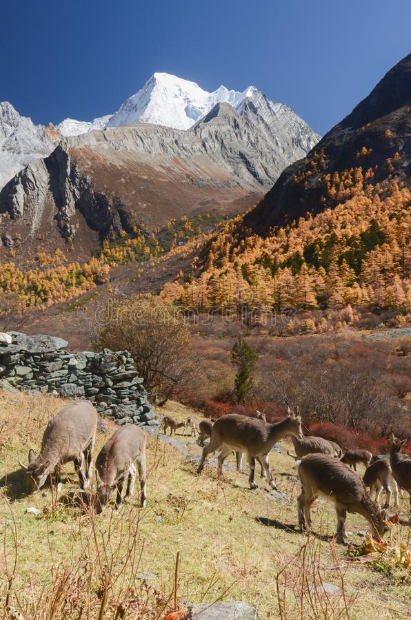 Animals finding food at colourful forest with snow mountain at Yading nature reserve royalty free stock photos