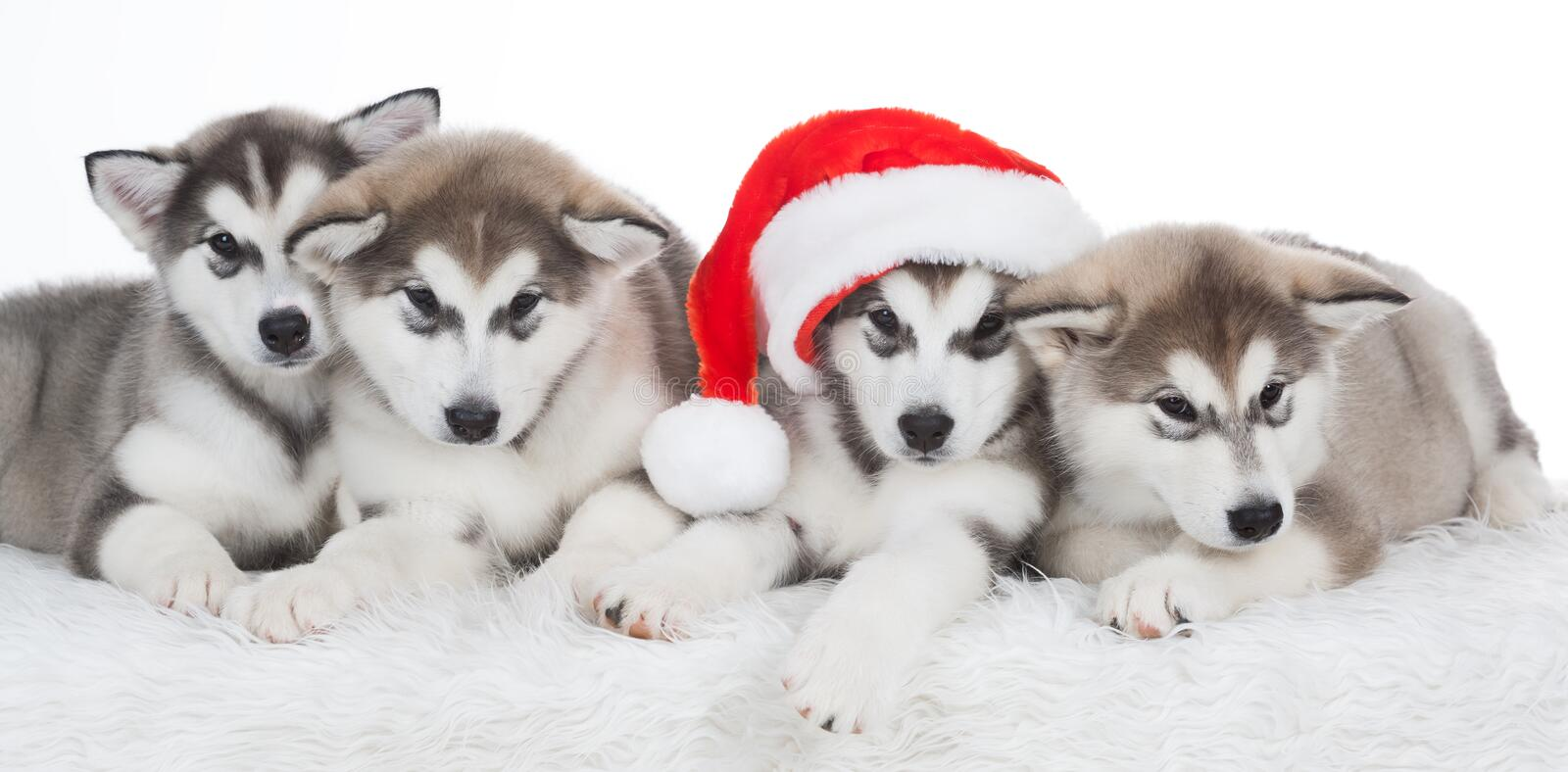 Animals. Four puppy Husky white isolated, Christmas hat! stock image