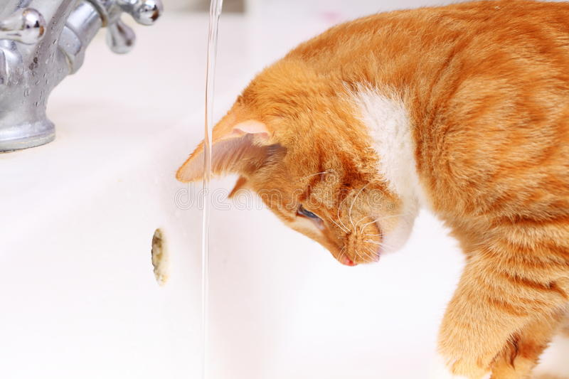 Download Animals At Home Red Cat Pet Kitty Drinking Water In Bathroom Stock  Image - Image
