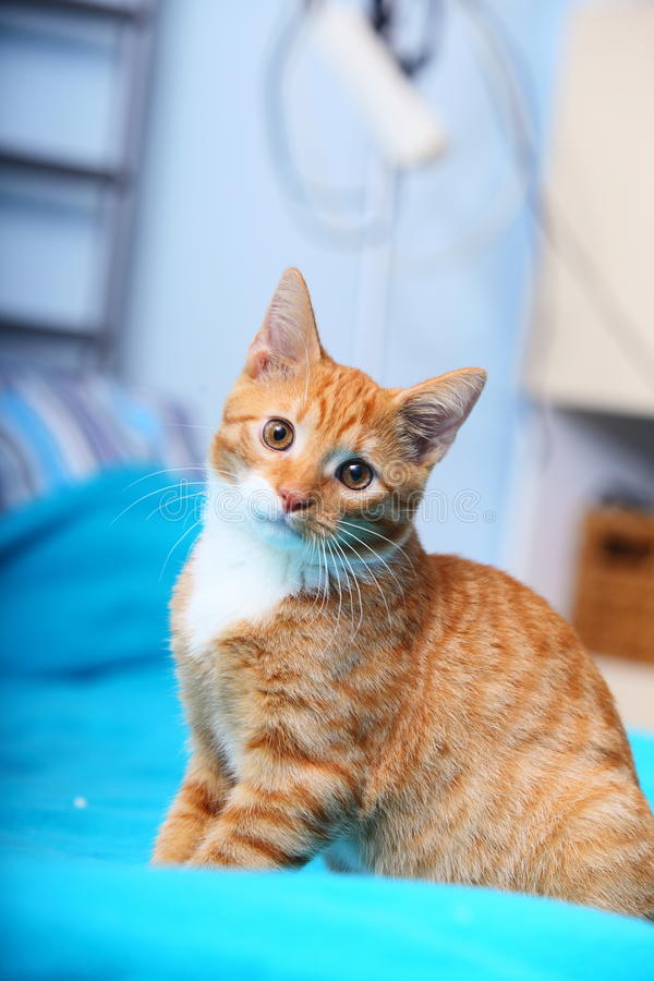 Animals at home - red cute little cat pet kitty on bed. Animals at home. Red cute little baby cat pet kitten laying on bed turquoise blanket stock image