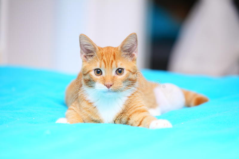 Animals at home - red cute little cat pet kitty on bed. Animals at home. Red cute little baby cat pet kitten laying on bed turquoise blanket stock photography