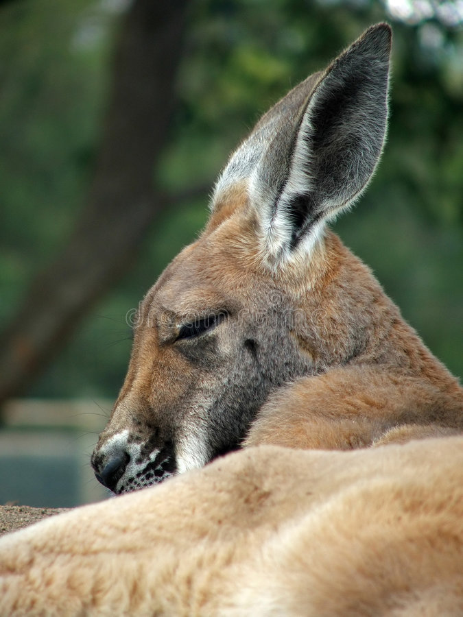 Animals - Kangaroo royalty free stock photo
